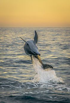 A happy dolphin welcoming the day at sunrise!