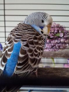 My new budgie!