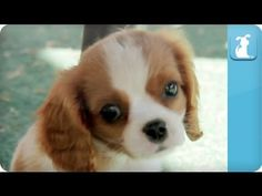 Puppy Love - #Cavalier King Charles Spaniels #puppies #dogs