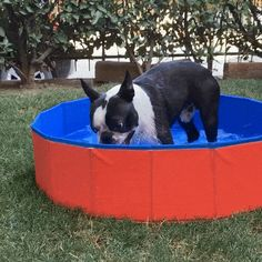 Foldable Dog Pool – Boston Terrier World Boston Terrier Love, Boston Terriers, Baby Dogs, Summer Days, Puppy Love, Your Dog, Swimming Pools, Puppies, Cool Stuff