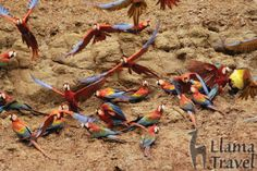 Macaw clay licks, Tambopata Reserve - Peru