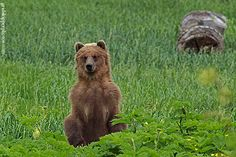 There is an abundance of wildlife in Alaska, including bears.