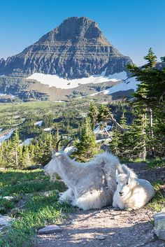 Mountain Goats seen from Hidden Lake Trail from Logan Pass, Glacier National Park, Montana; photo by .John and Jean Strother