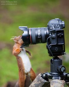 http://www.facebook.com/pixelshq    A Red Squirrel who really wants his photo taken. Perhaps he's a little too close though? © Simon Phillpotts