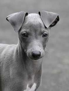 for some reason, many people think that greyhounds are grey. However they come in all sorts of colors. This one is considered blue.