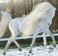 Extremely beautiful magnificent horse running on the snow dusted ground. Lovely tail held high and long pretty mane flowing in the wind.