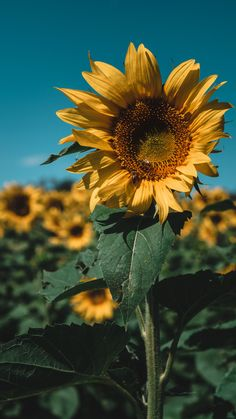 Field Wallpaper, Flower Background Wallpaper, Cute Wallpaper Backgrounds, Flower Backgrounds, Country Backgrounds, Aesthetic Backgrounds, Aesthetic Iphone Wallpaper, Sunflower Feild, Sunflower Art