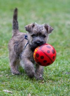 Simple Cairn Terrier Ball Adorable Dog - 73c632b8ac6e6baa4a82613d2abf980c--cairn-terrier-puppies-mobile-phones  Graphic_383466  .jpg