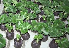 muskátli, dugványozás, Garden Soil, Garden Plants, Garden Park, Green Garden, Outdoor Plants, Lush Green, Flower Seeds, Geraniums, Planting Succulents