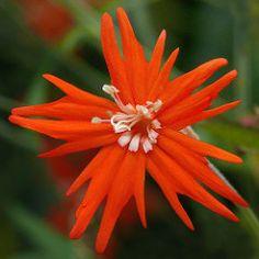 Silene laciniata (Caryophyllaceae)