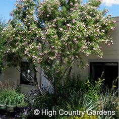 Chilopsis linearis Monhews | Timeless Beauty Desert Willow | Low Water Plants, Eco Friendly Landscapes | High Country Gardens