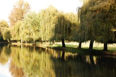 willow trees <3