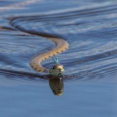 damselfly riding snake