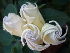 The most beautiful and toxic flower; the datura <3