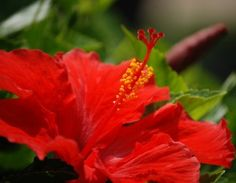 Hibiscus Petals For Health, Henna Colo Enhancement & Hair Conditioning