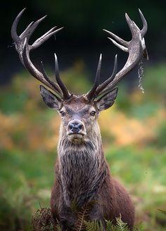 "theperfectworldwelcome: "" lockdownheaven: "" The Stag "" Beautiful ! Nature Animals, Animals And Pets, Cute Animals, Sambar Deer, Deer Photography, Photo Animaliere, Deer Pictures, Deer Art, Red Deer"