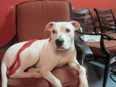 Sweetcake URGENT foster is an adoptable Pit Bull Terrier Dog in Brooklyn, NY.     Sweetcake  has been a a boarding kennel for over a year and is not doing well.  Can you help rehab her?  She needs a l...