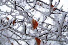 Orange leaves in frost