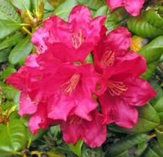 Elviira – 2, -30F. This rhododendron is very hardy. It grows to a height of 2 and width of 18 to 24. It grows well in shade. A very low growing rhododendron cultivar. Densely branched, it is covered with flower buds that are hardy to -30F and open bright red. From the group of Marjatta hybrids developed at the University of Helsinki, Finland.