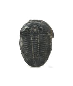 Trilobite Natural Fossil  Jewelry Quality Utah by FenderMinerals