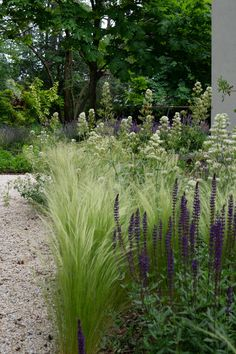 Stipa, Salvia Nemorosa Caradonna and Centranthus Ruber Albus in CasaL garden in Madrid