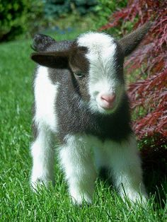 MUST GET A PIGME GOAT!!! :) :)