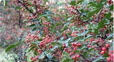 We are dried sichuan pepper red great quality manufacturer and supplier .We wholesale dried sichuan pepper red great quality and other spices worldwide. Sichuan Pepper, Red Peppers, Spices, Gardening, Stuffed Peppers, Plants, Food, Red Bell Peppers, Spice