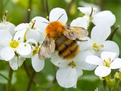 Guide to British bumblebees in pictures