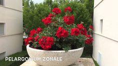 Pelargonium zonale.