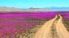 20 surreal places you need to see to believe Atacama Desert Antofagasta Region, Chile Temple Maya, Chili, Desert Flowers, Pink Flowers, Felder, Trekking, South America, Places To See, Deserts