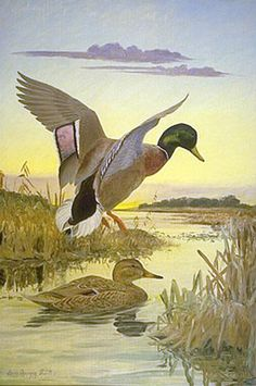 Mallard Duck by Louis Agassiz Fuertes Duck Drawing, Vintage Posters, Vintage Prints, Bird Artists, Outdoor Pictures, John James Audubon, Wildlife Paintings, Country Paintings, Selling Art