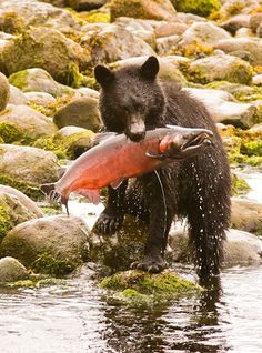Big Salmon for a Small Bear! Nature Animals, Animals And Pets, Baby Animals, Cute Animals, Baby Pandas, Wild Animals, Cute Animal Photos, Animal Pictures, Wildlife Photography