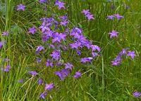 Clopoţei (Campanula patula) Landscape, Flowers, Plant, Scenery, Royal Icing Flowers, Flower, Corner Landscaping, Florals, Floral