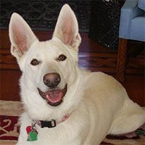This white German Shepherd protected its owner for burglars who tried to come back a second time!