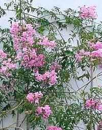 Bignonia rosa, Bignonia rosada, Arbusto de Pandora, Trompetas