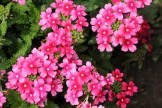 Annuals for Sunny, Dry Sites Multi Colored Flowers, Large Flowers, Dried Flowers, Portulaca Grandiflora, Portulaca Oleracea, Zinnias, Petunias, Lantana Camara, Mexican Sunflower