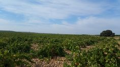 Los viñedos en La Seca, Rueda