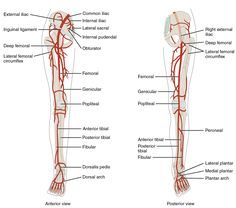 ... of arteries in the legs, and the right panel shows the posterior view