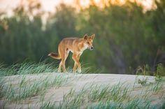 photographed by Steve Parish Aboriginal History, Aboriginal People, Beautiful Photos Of Nature, Nature Photos, Watercolor Animals, Watercolour, Bird People, Real Dog, Character Profile