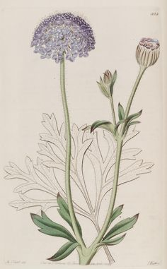 Trachyméne caerúlea ~ by John Lindley