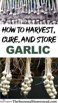 Fruit Garden, Edible Garden, When To Harvest Garlic, Garlic Storage, Harvesting Garlic, How To Store Garlic, Garlic Bulb, Autumn Garden, Gardening Tips