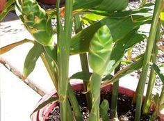 Do you know how to grow ginger? It's an easy plant with good rewards and huge medicinal benefits. Click through for ginger growing tips, recipes & info. Garden Art, Garden Plants, Indoor Plants, House Plants, Garden Ideas, Container Gardening, Gardening Tips, Ginger Plant, Ginger Tea