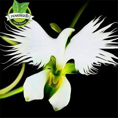 100 Japanese Radiata Seeds White Egret Orchid Seeds World's Rare Orchid Species Home Flower Plant