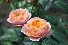 冬冬玫瑰網-商品詳情-溫柔珊瑚心