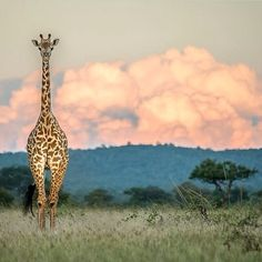 Giraffe and the distant Storm, Tanzania | Photography by ©Peter Stanley #Padgram