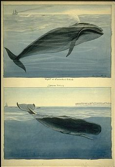 Louis Agassiz Fuertes; Cornell University Library Rare and Manuscript Collections  watercolors of Bowhead Whale, Sperm Whale for National Geographic, 1916.