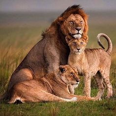 """: """"This family portrait game is very strong Africa Animals And Pets, Baby Animals, Cute Animals, Beautiful Cats, Animals Beautiful, Lion Photography, Fitness Photography, Lion Family, Gato Grande"""