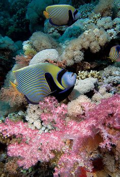 #angelfish with soft #coral