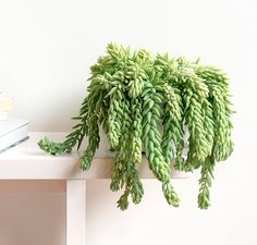 """Sedum """"Morganianum- orpin ou queue d'âne"""