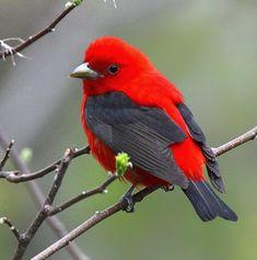 Siyah kanatlı  kırmızı  kuş